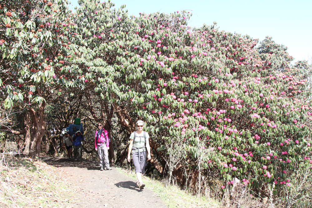 Walking under the rhododendron trees