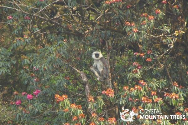 langur monkey in rhodie tree