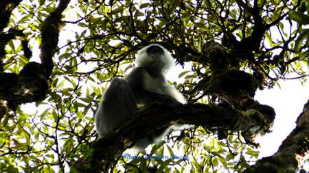 Langur monkeys near the forests of Tadapani