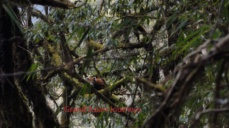 Red Panda, Kanchenjunga Base Camp Trek