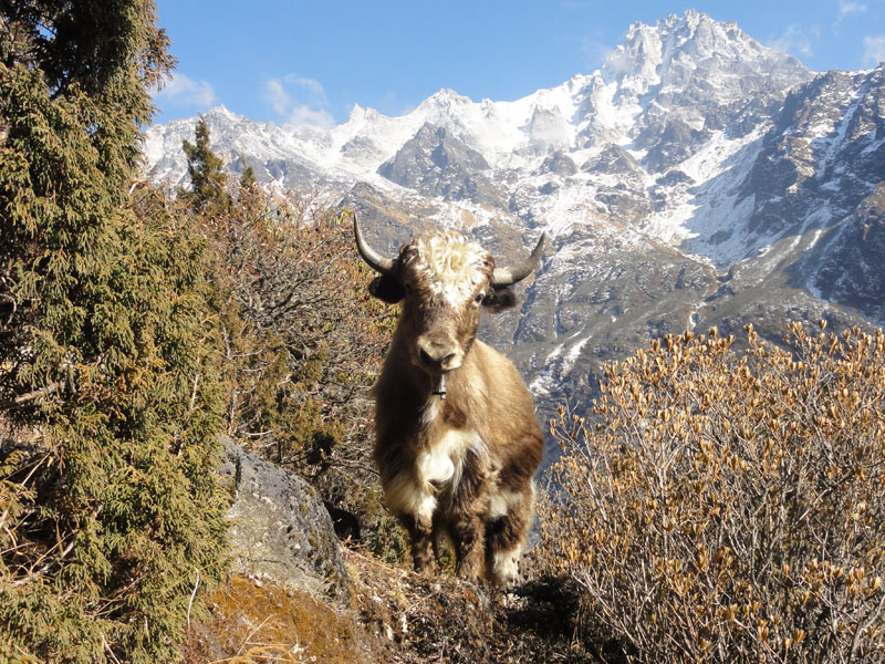 Yak at Ghunsa, Kanchenjunga Base Camp Trek