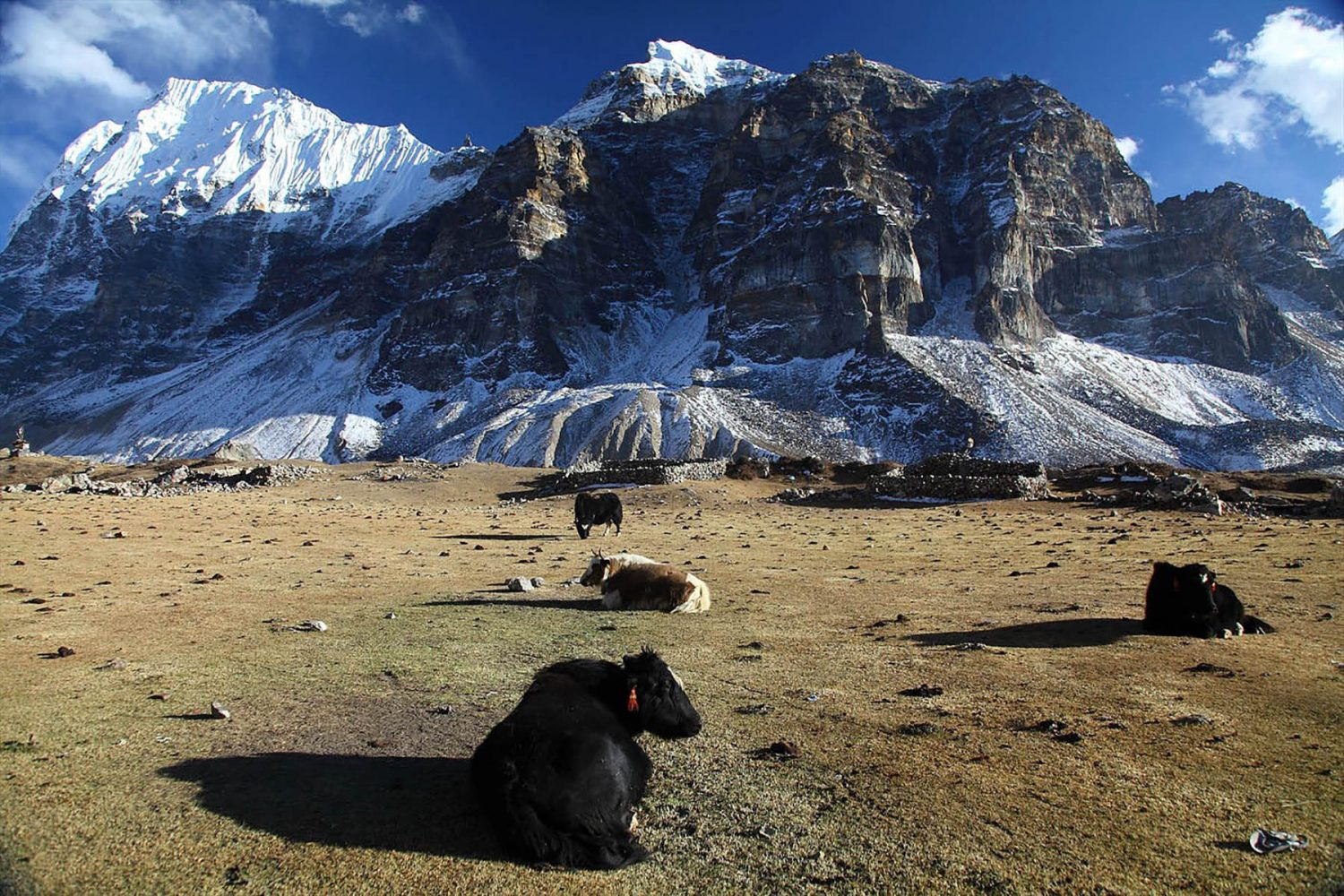 Yak Resting, Kanchenjunga Base Camp Trek
