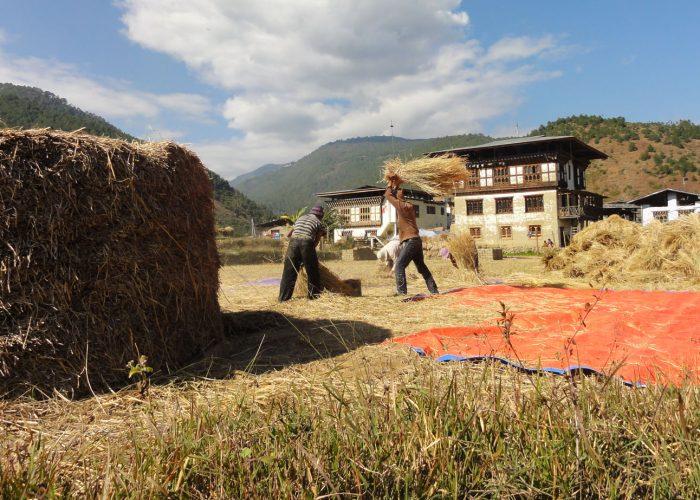 Threshing paddy