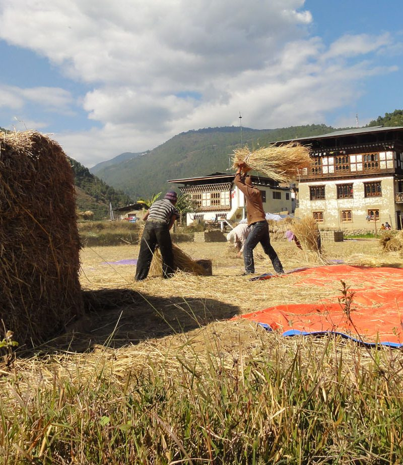 Threshing paddy