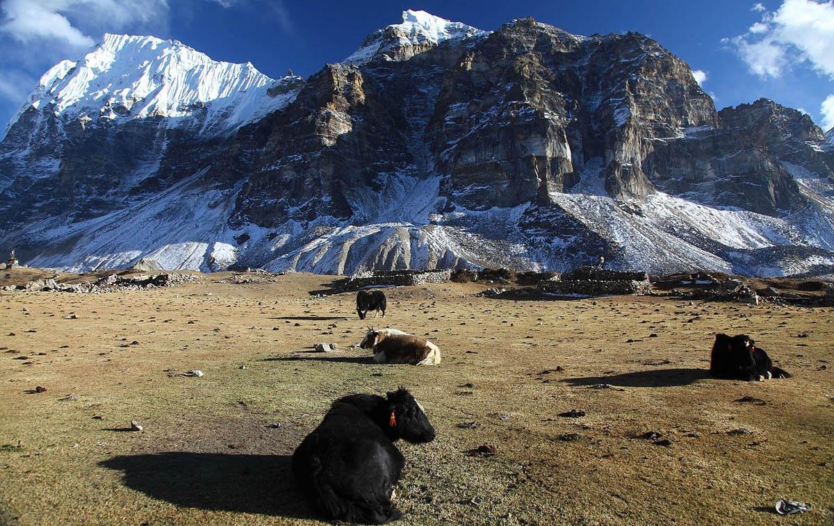 Yaks resting at Lhonak