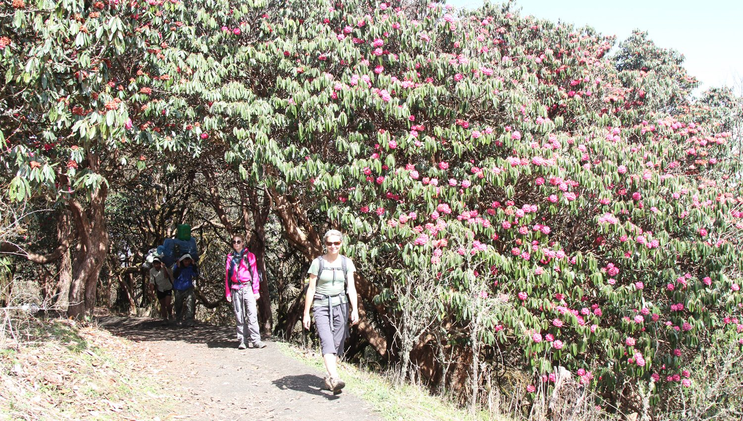Rhododendron forest near Ghorepani