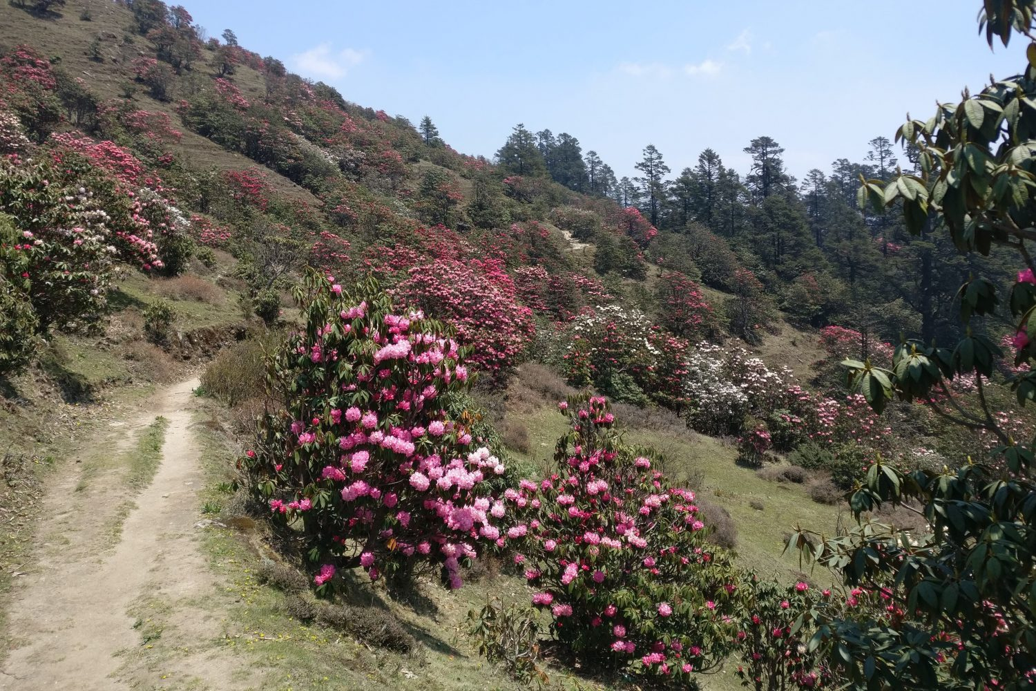 More rhododendrons on the Pikey Peak Trek