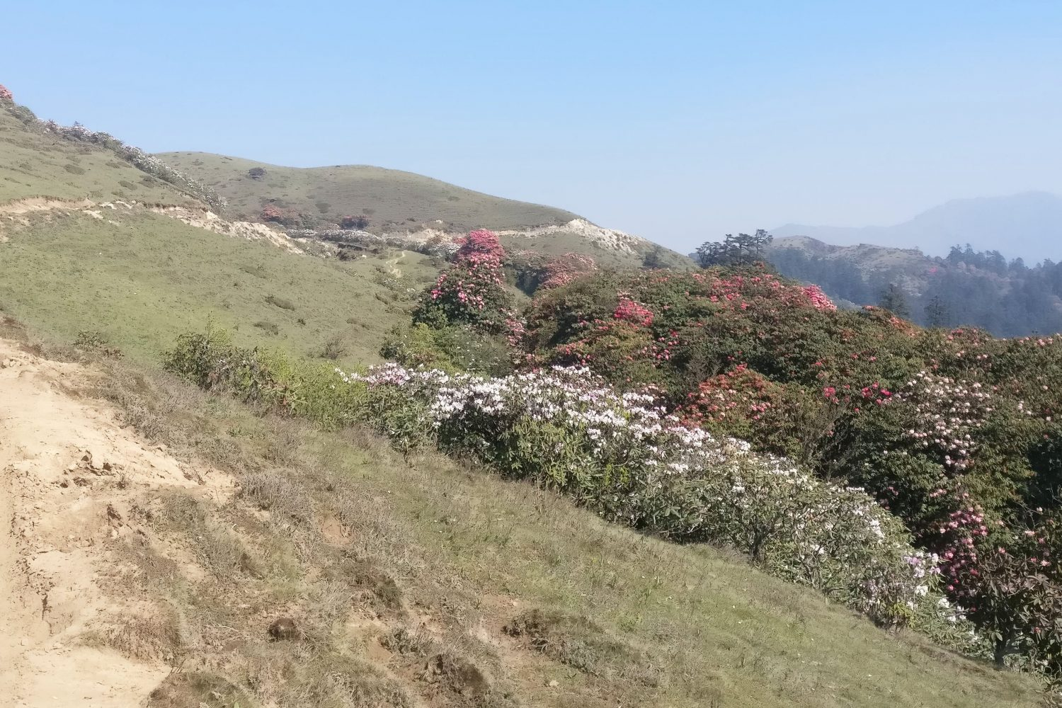Rhododendrons enroute to Bhulbhule