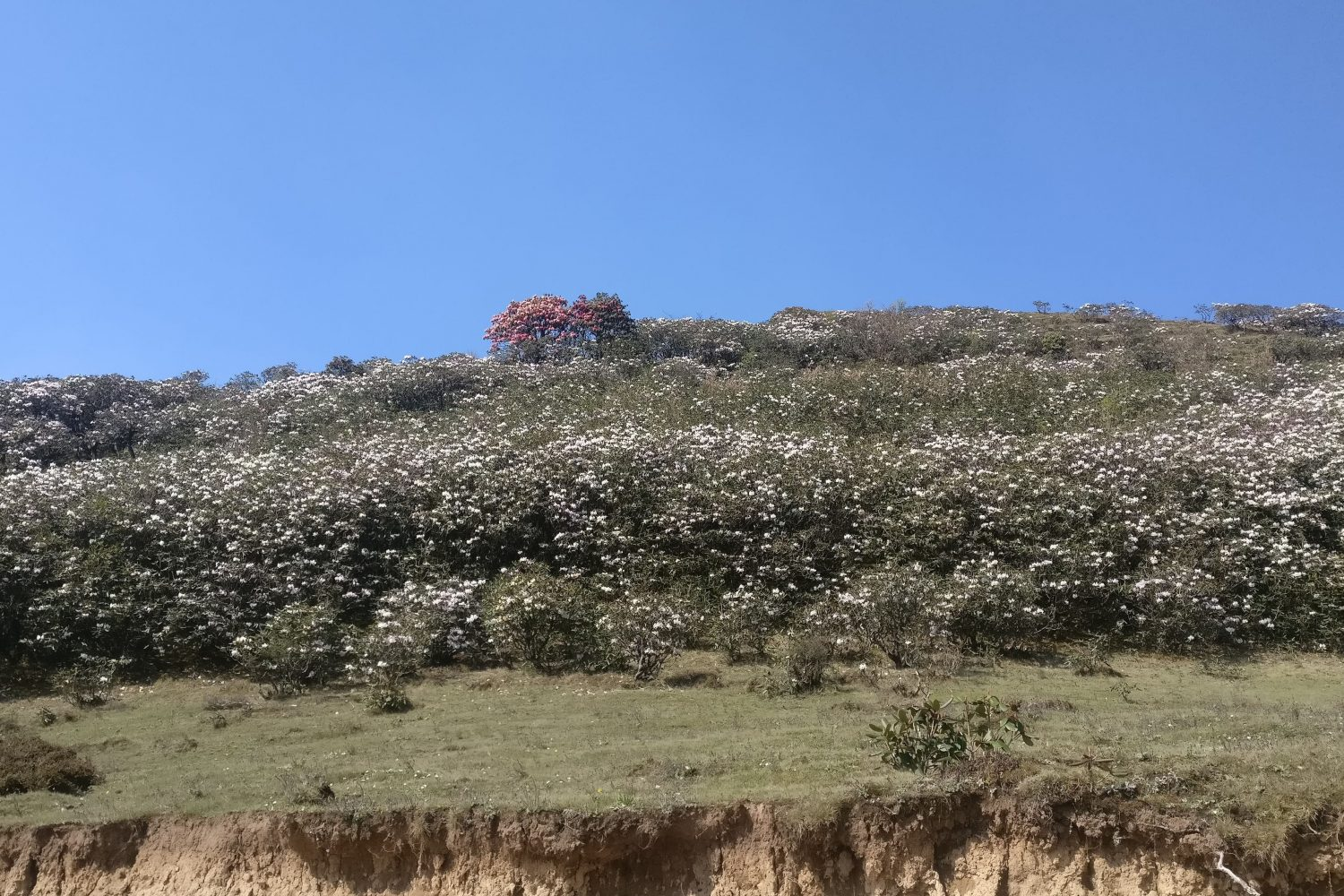 Rhododendrons enroute to Bhulbhule on the Pikey Peak Trek