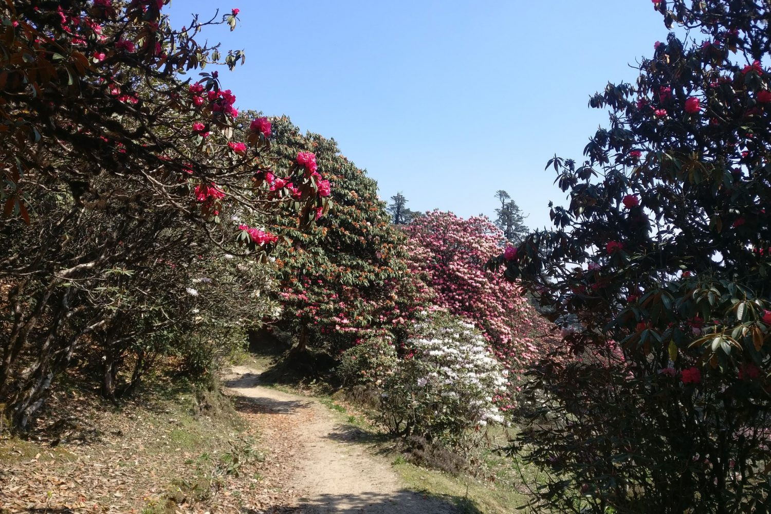 Rhododendrons on the trail on the Pikey Peak Trek