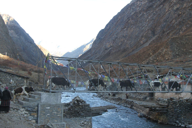 Yaks on the bridge, Tsum Valley Trek